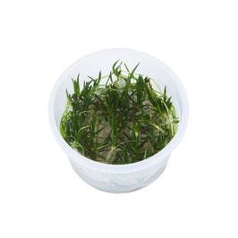 Littorella uniflora / Strandling