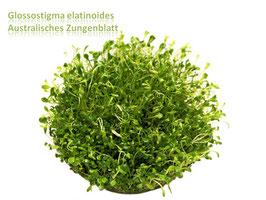 Glossostigma elatinoides / Australisches Zungenblatt