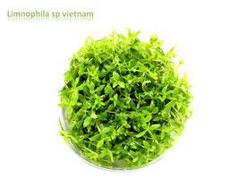 Limnophila sp. `Vietnam` / Vietnam-Sumpffreund