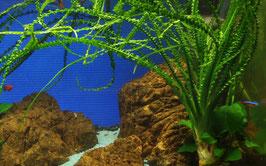 Tropica Crinum calamistratus / Schmalblättrige Hakenlilie