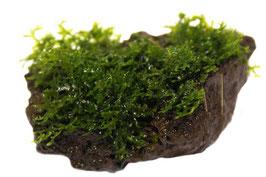 Korallen Moos auf Stein