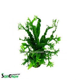 Microsorum Windeløv (crisped leaves) - kleiner Javafarn