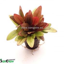 Echinodorus Regine Hildebrandt - Regine Hildebrandt Schwertpflanze