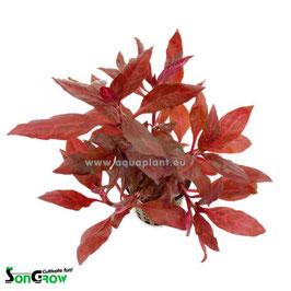 Alternanthera reineckii Rosanervig - Schmalblättriges, rosanerviges Papageienblatt