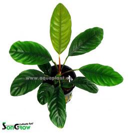 Anubias caffeefolia - Kaffeeblättriges Speerblatt