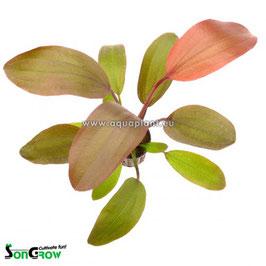 Echinodorus Hot Pepper - Mittelgroße rotgefärbte Schwertpflanze