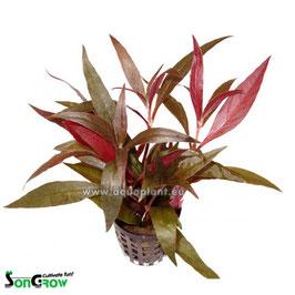 Alternanthera rosaefolia - Rosablättriges Papageienblatt