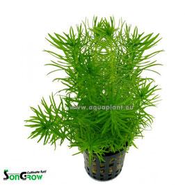 Pogostemon erectus - Indische Sternpflanze