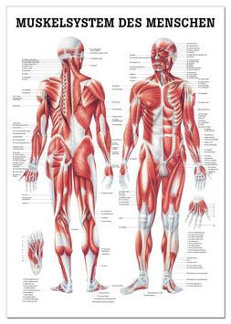 Miniposter, Muskelsystem des Menschen, laminiert
