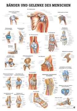 Lehrtafel, Bänder und Gelenke