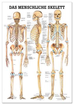 Miniposter, Das menschliche Skelett, laminiert