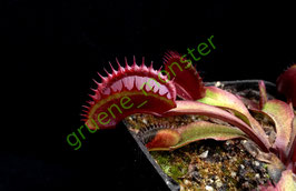 "D. muscipula ""Red Shark Teeth"""