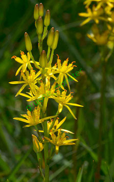 Moorlilie / Beinbrech