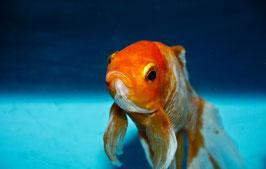 Schlag den Goldfisch! Schreiben fürs Internet.