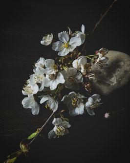 white sakura 01