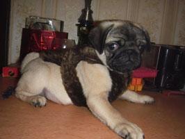 зимняя попонка на щенка