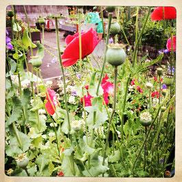 Garten mit rotem Mohn