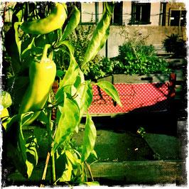 Garten mit Peperocinipflanze