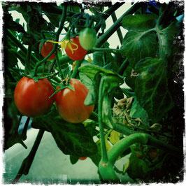 Tomatenstrauch