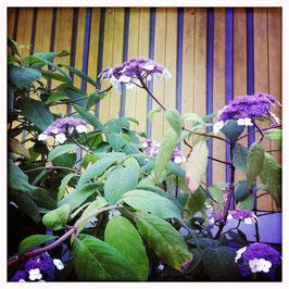 Strauch mit violetten Blüten