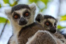 Lemuren Madagaskar 1
