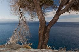 Baum in Korsika