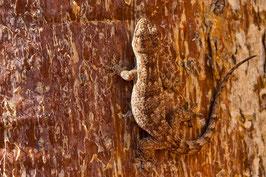 Gecko Madagaskar