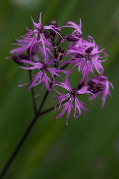 Blume 6