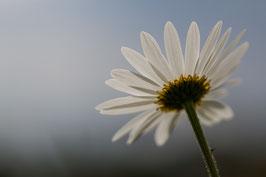 Gänseblümchen 5