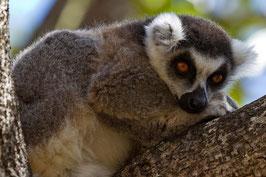 Lemur Madagaskar 2