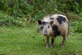 Schwein Georgien