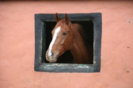 1 Pferd