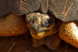 Schildkröte Madagaskar 1