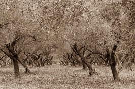 Oliven Korsika
