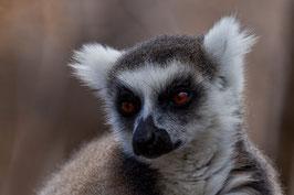 Lemur Madagaskar 1