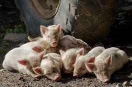 Glücks-Schweinchen