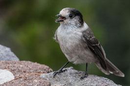Vogel USA 4