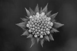 Blume 5 s/w