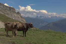 Kühe 1 - Glarner Alpen