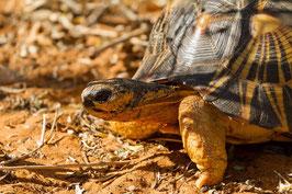 Schildkröte Madagaskar 2