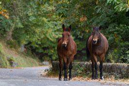 Pferde Korsika