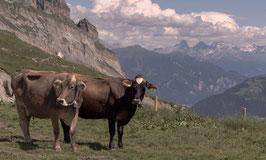 Kühe 2 - Glarner Alpen