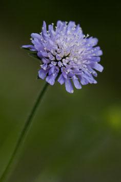 Blume 8