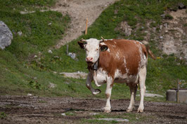 Tanzende Kuh