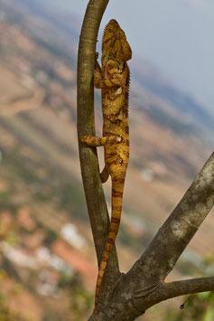 Chamäleon Madagaskar 3