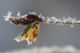 Blätter mit Eiskristallen 2