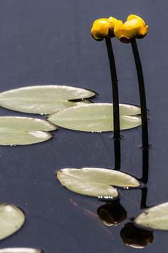 Wasserpflanze gelb