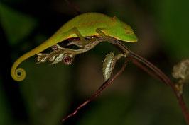 Chamäleon Madagaskar 1