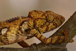 Chamäleon Madagaskar 4