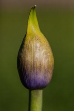 Blume 11